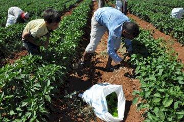 Nizip'te biber hasadı başladı